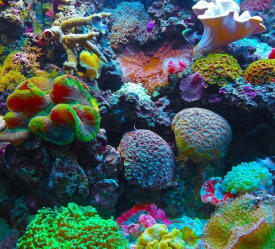 Coraux colorés