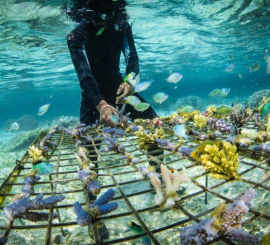 Coral guardian restauration des coraux