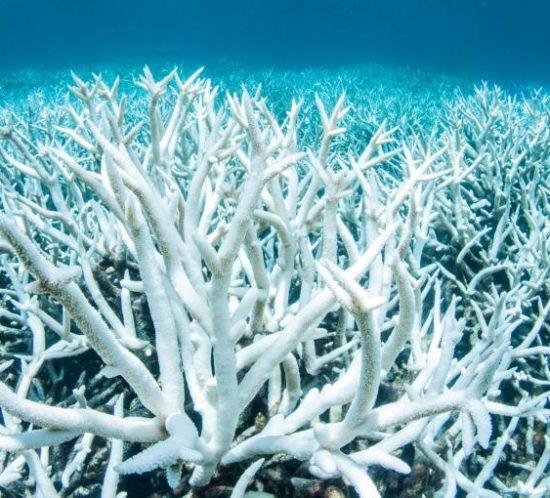 blanchissement des coraux