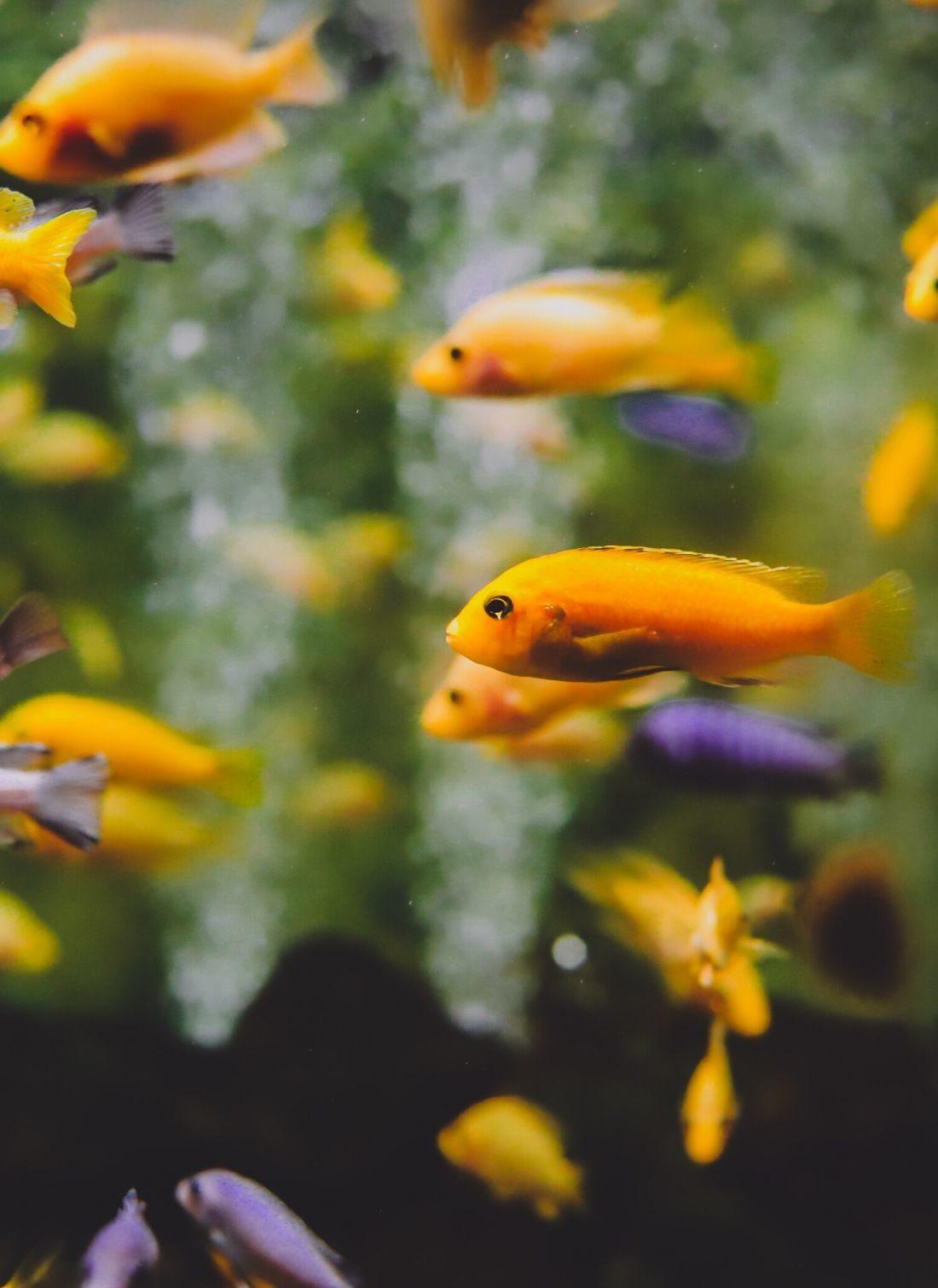 Poissons aquarium oranges