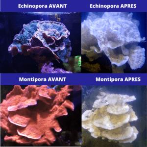 Coraux blanchi avant/après